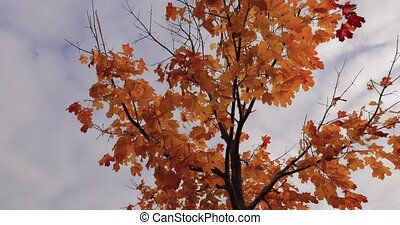 bright yellow autumn maple on the sky background