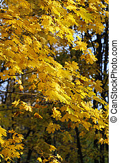 Bright yellow autumn maple trees