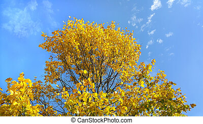 Bright yellow branches of autumn tree on blue sky