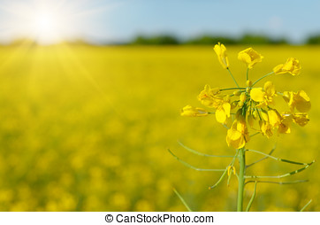Bright yellow canola field under blue sky summer day
