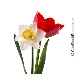 Bright yellow daffodil and red tulip, isolated on white background.
