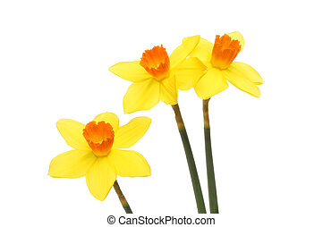 Bright yellow Daffodil flowers