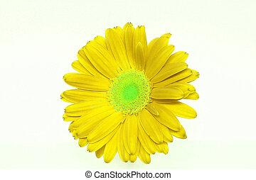 Bright Yellow Daisy - background of a bright yellow daisy