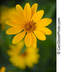 Bright Yellow Daisy Flower