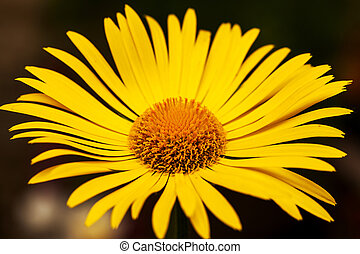 Bright yellow daisy flower isolated on dark background