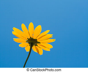 Bright yellow daisy flower on blue sky background
