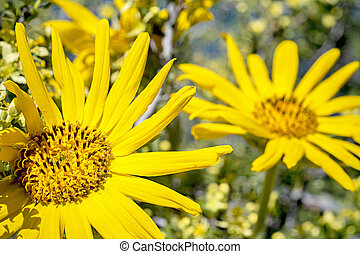 Bright yellow daisy in nature