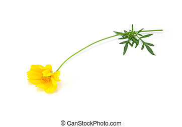 bright yellow flower, isolated on white