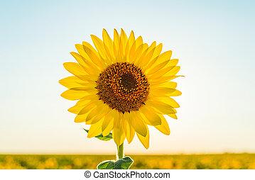 bright yellow flower of sunflower in field