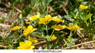 bright yellow flowers caltha or marsh marigold swaying in...