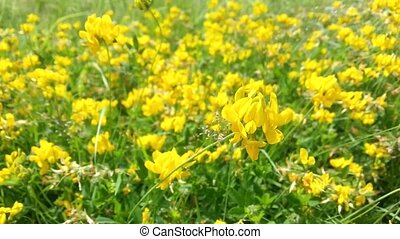Bright yellow flowers in the grass shaking in the blowing wind