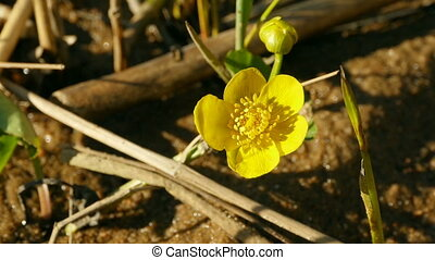 yellow flowers marsh marigold - Bright yellow flowers marsh ...