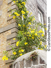 Bright Yellow Flowers on Vine up Old Wall