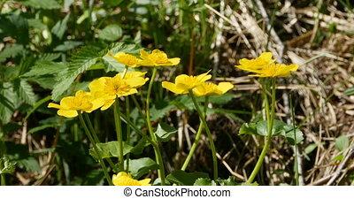 bright yellow flowers primroses marsh marigold swaying in...