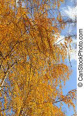 Bright yellow foliage of autumn birch tree
