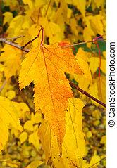 Bright yellow foliage of autumn tree