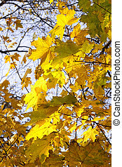 leaves of autumn maple