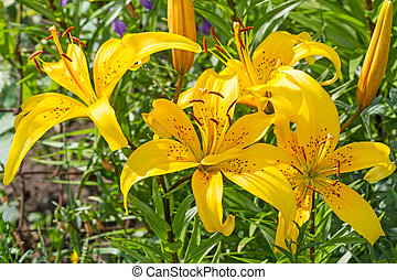 Bright yellow lilies on a sunny day