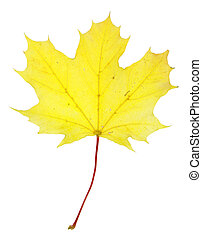 Bright Yellow Maple Leaf