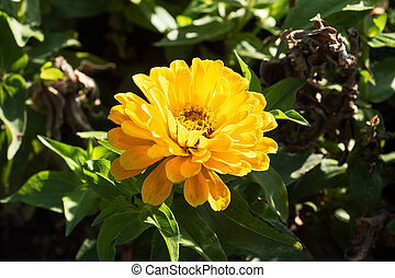 Bright yellow marigold flower in the garden.