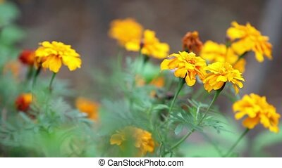 bright yellow marigold flowers close to camera in motion