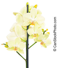 Bright yellow orchid