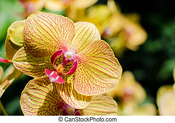 Bright yellow orchids flower in Botanical garden , close up...