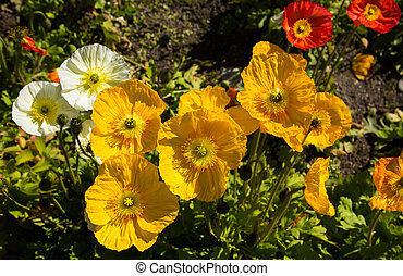 Some wonderful spring yellow poppies.