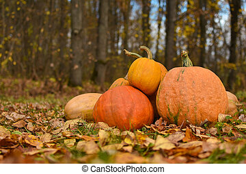 Bright yellow pumpkins lie on the autumn foliage in the forest, Halloween