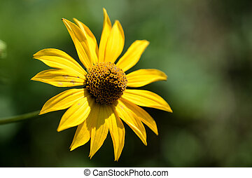 Bright yellow Rudbeckia flower in a summer garden lit by the sun close-up