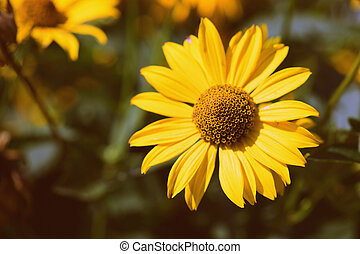 Bright yellow Rudbeckia flower in a summer garden lit by the sun