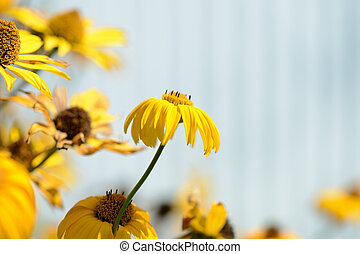 Bright yellow Rudbeckia flowers in a summer garden lit by the sun close-up