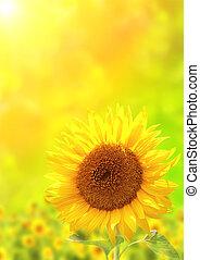 Bright yellow sunflower on green background