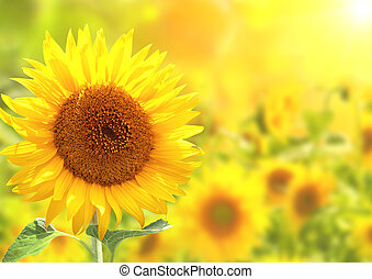 Bright yellow sunflowers and sun
