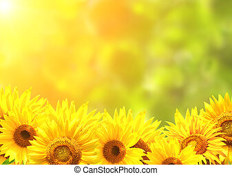 Bright yellow sunflowers