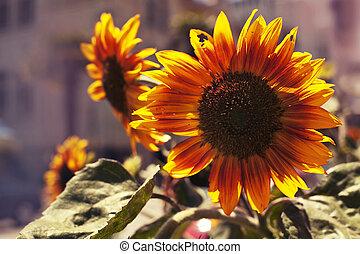 Bright yellow sunflowers and sun, Tuscany sunflowers, Summer background