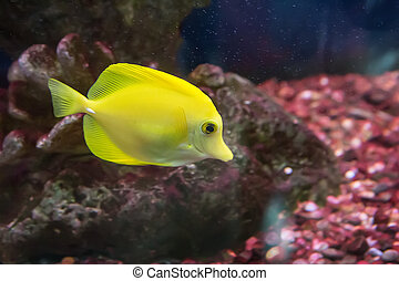 bright yellow tropical fish