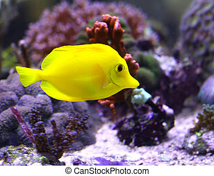 bright yellow tropical fish swimming in the warm sea in the ...