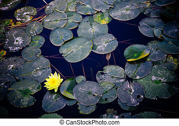 Bright yellow water lily flower with green leaves