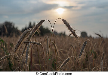 Bright yellow wheat spikelets in the foreground with blurred background field at sunset, harvest, bread,