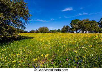 Bright Yellow Wildflowers in Texas
