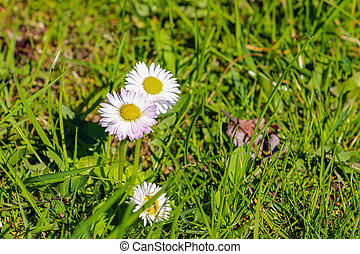 Bright young meadow chamomile flowers on a sunny spring day.