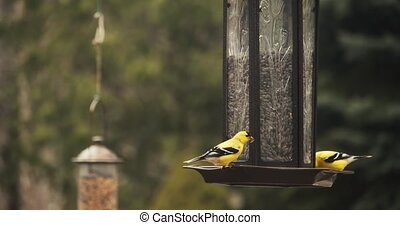 Brightly colored American Goldfinches perched on a feeder....