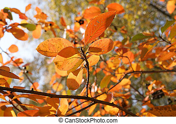 Brightly colored autumn leaves in the light of bright sunshine