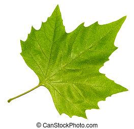 brightly, grøn ahorn blad, isoleret, på, en, hvid baggrund