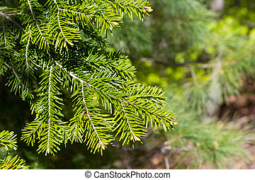 Brightly green prickly branche of fur tree or pine