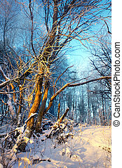 tree in wilderness area in winter - Brightly lit bare tree ...