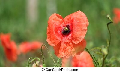 Brightly red common poppy flower. Red poppy flutters in the...