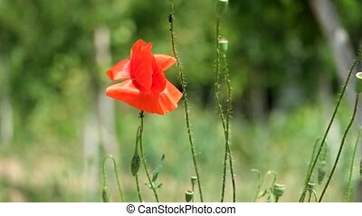 Brightly red poppy flutters in the wind (Papaver rhoeas) -...