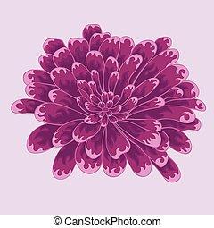 brignt, zinnia, coloreado, flor, violeta